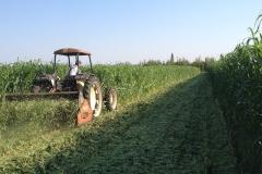 Cover crop di sorgo sudanese