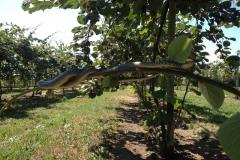 Serpente biacco